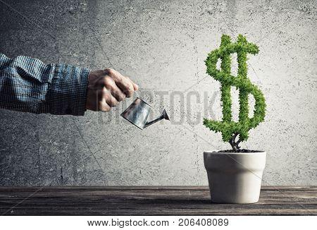 Hand of man watering green dollar tree growing in white pot