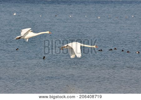 Couple of swans flying  above the river