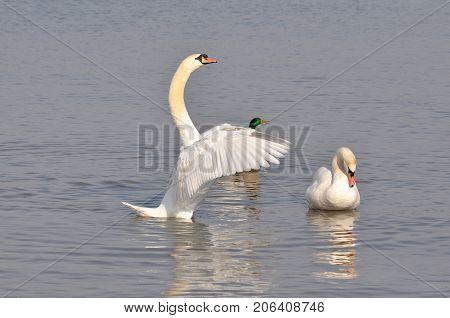 Beautiful swan spreads its wings on Danube river in Belgrade, Serbia.