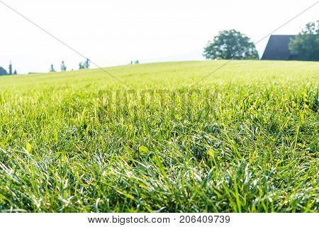 Maintained fresh green lawn in close up for background or texture summer meadow grass