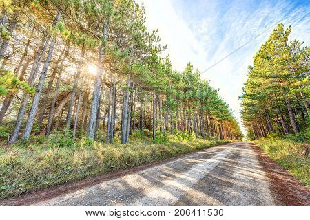 Vanishing Dirt Paved Rocky Road Through Pine Tree Forest In Dolly Sods, West Virginia In Autumn With