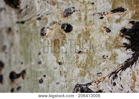 Macro aspen tree trunk, can be used as a background or texture