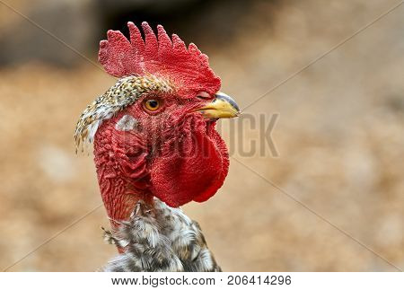 Head Of A Rooster