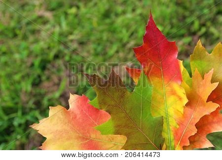 some multi colored autumn leaves in front of green grass leaves from an American oak