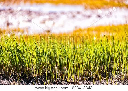 Macro Closeup Of Green Beach Grass By Saint Lawrence River In Quebec, Canada With Sand And Sparkling