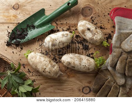 Homegrown turnip fresh from a vegetable garden.