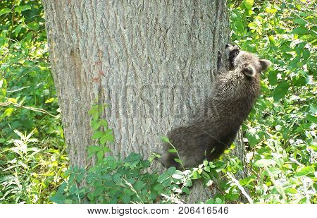 Rehabilitated and Released raccoon checking out tree in woods