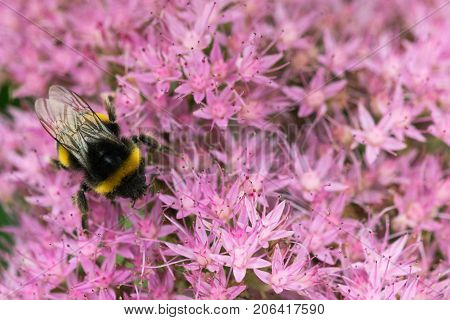 Bee collecting nectar of pink flowers field closeup.