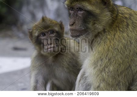 Barbary ape (Macaca sylvanus) on the Rock of Gibraltar