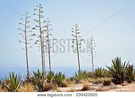 Typical for sunny Malta landscape. Flora of Malta. View of the blooming agave plant