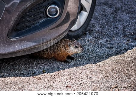 Closeup Of Rodent, Woodchuck, Muskrat Or Groundhog Hiding Under Car By Tire In Shadow