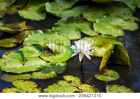 Closeup Of One Blooming White Bright Lily Flowers With Pads In Pond