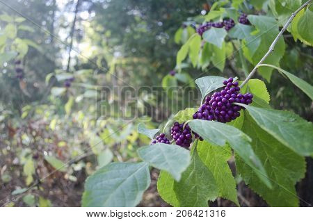 Cluster of purple berries on a limb in the woods.