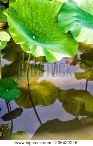 Closeup of large lily lotus pads in pond marsh during sunny summer