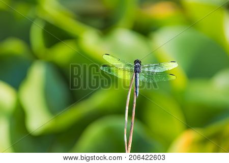 Macro Closeup Of A Blue Dragonfly Back In A Lotus Pond On Stick With Bokeh Background And Wings