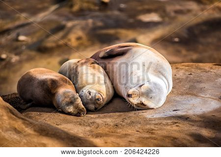 Family Of Three Light, Small Sea Lions Sleeping In The Sun On A Rocky Beach In San Diego, California