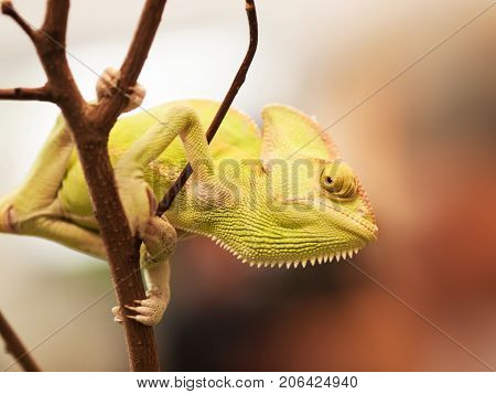 Young Yemen chameleon on the branch prepared for hunting - Chameleo calyptratus