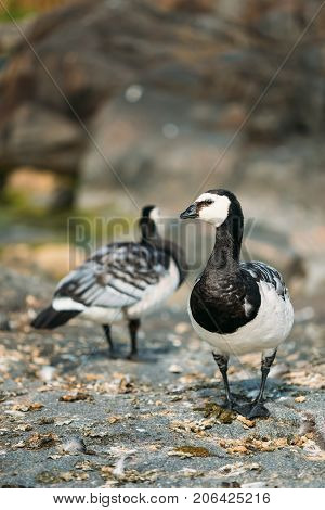 Two Barnacle Geese Or Branta Leucopsis, The Wild Sea Northern Birds With White Black And Gray Plumage Standing On Rocking Surface In Helsinki, Finland. Copyspace.