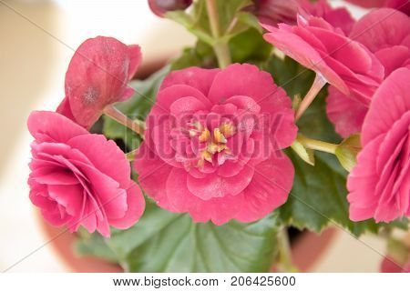 Tender Fresh Pink Begonia  Terry Flowers And Petals  Bush In A Tub,  Pronounced On Leaves Fungal Dis