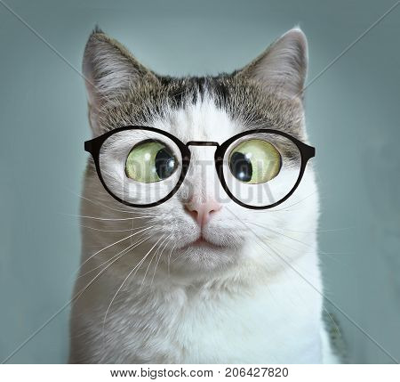 cute cat in myopia glasses squinting close up funny portrait on blue wall background