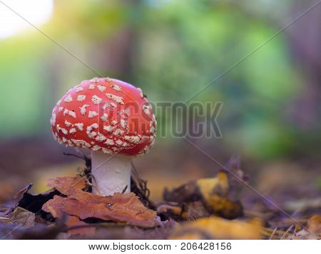 mushroom in the autumn forest among fallen leaves