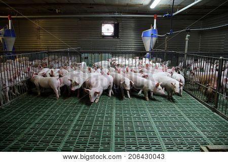 Industrial pig farm for breeding little hogs