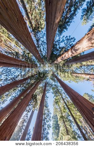 Towering Sequoia Canopy