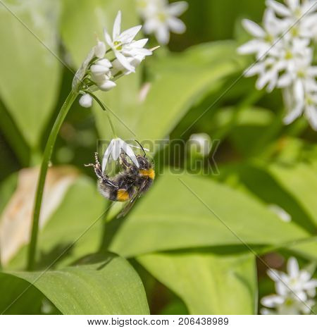 bumblebee on ramsons flower in sunny ambiance