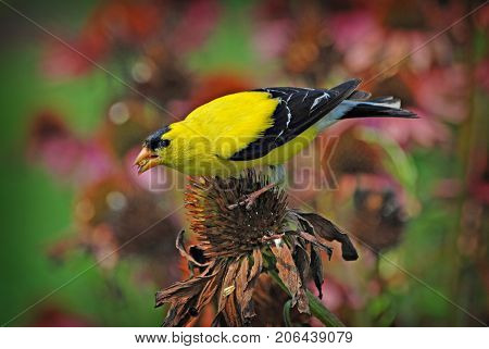 American Goldfinch perched on a Coneflower Bloom