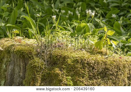 dense ground cover vegetation closeup on tree trunk in a forest at spring time