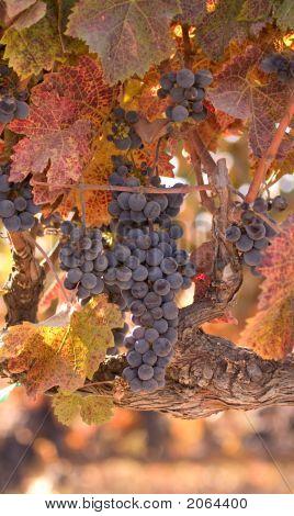 Autumn Wine Harvest