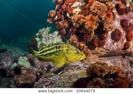 Threestripe Rockfishes & Hidden Octopus Under Water
