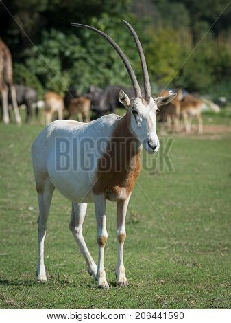 The scimitar oryx or scimitar-horned oryx (Oryx dammah) also known as the Sahara oryx is a species of Oryx once widespread across North Africa which went extinct in the wild in 2000