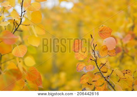 Aspen Trees With Golden Yellow Leaves