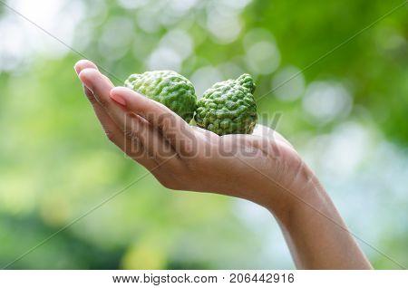 Bergamot fruit or Kaffir lime holding by hand.Thai herbal plant