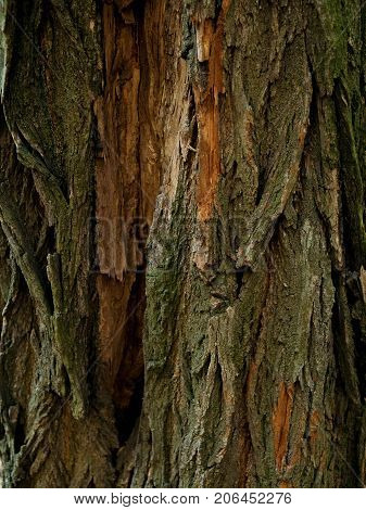 Structure of the bark of the tree. Wooden background. Close up texture of tree bark