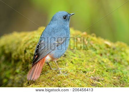 beautiful male Plumbeous Redstart (Rhyacornis fuliginosa) in Thai forest