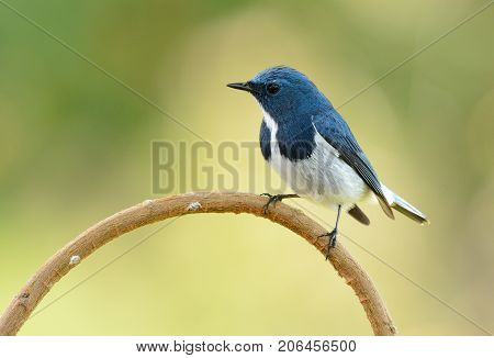 beatiful male Ultramarine Flycatcher (Ficedula superciliaris) possing on the branch