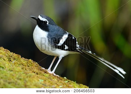 beautiful slaty-backed forktail (Enicurus schistaceus) in Thai forest