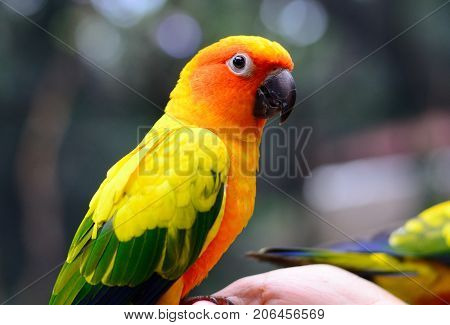 beautiful Sun Conure (Aratinga solstitialis) as pet
