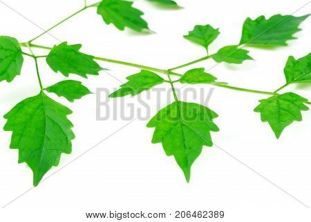 Green leaves on white background Birch twig whit young leaves