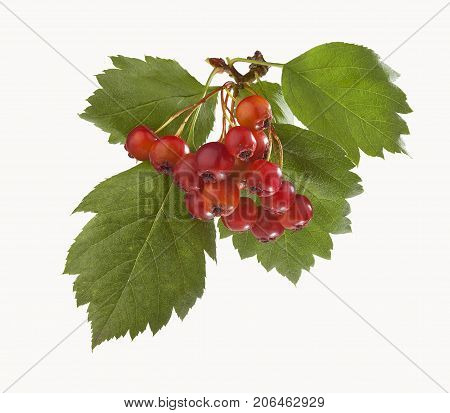 Isolated branch of hawthorn with berries and leaves
