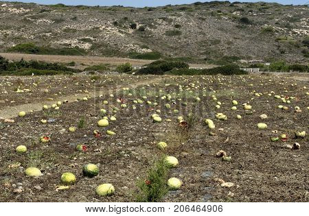 Plantation with overripe watermelons at the end of September in Rhodes on a background of mountains (Greece).