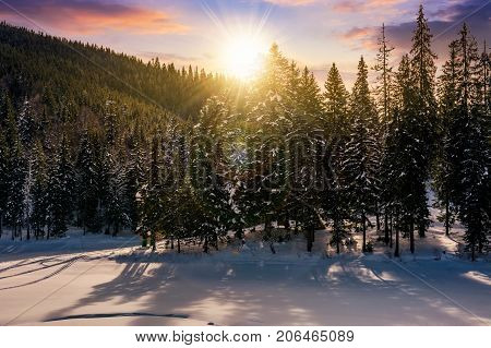 Sunset In Winter Spruce Forest