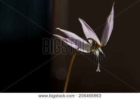 Wild Lily,erythronium Dens-canis