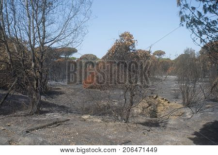 pinewood of Castel Fusano at Rome as appears after the terrible blaze which devasted It