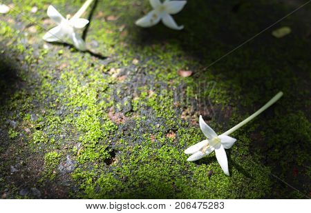 Indian cork flowers falls on the floor with moss tree. White flowers are fragrant in the garden.