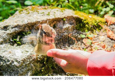 Chipmunk eats delicious nuts from his hand