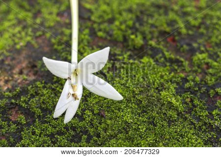 Indian cork flower falls on the floor with moss tree. White flowers are fragrant in the garden.