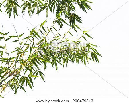 Isolated of bamboo. Green bamboo in a forest of Asia. It a beautiful green nature.